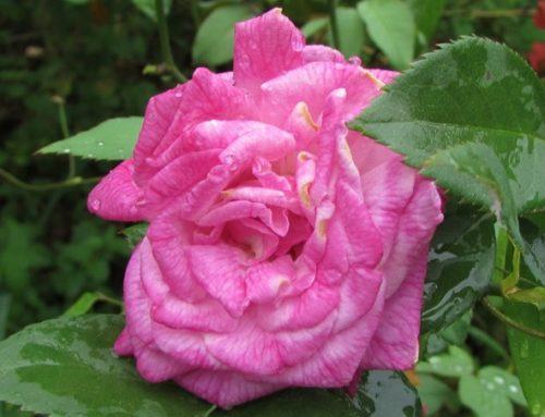 La Rose Edouard