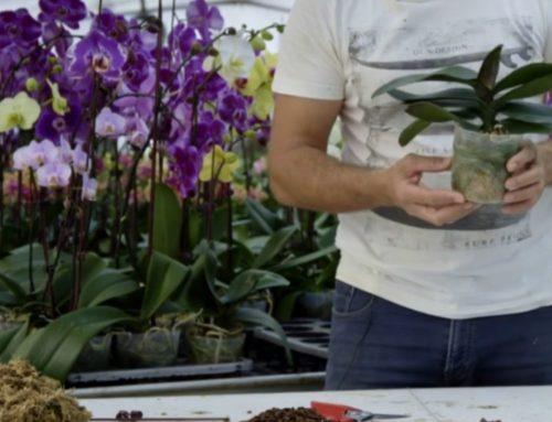 Redonner de la vigueur à son orchidée