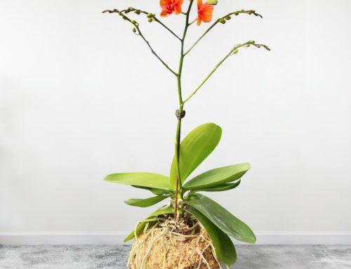 Entretien d'une Orchidée Kokédama