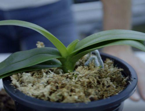 Entretenir son orchidée en hiver
