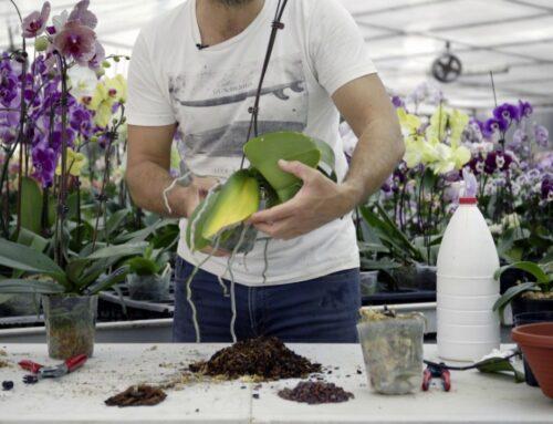 Orchidée – Soigner les coups de soleil